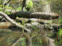 Alabama Black Southern Water Snake - Nerodia Fasciata Stock Photography
