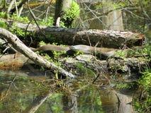 Alabama Black Southern Water Snake - Nerodia Fasciata. This is a Alabama Black Southern Water Snake - Nerodia Fasciata that is living in a swamp in Morgan County stock photo
