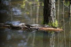 Alabama Black Southern Water Snake - Nerodia Fasciata. This is a Alabama Black Southern Water Snake - Nerodia Fasciata that is living in a swamp in Morgan County royalty free stock photo