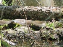 Alabama Black Southern Water Snake - Nerodia Fasciata. This is a Alabama Black Southern Water Snake - Nerodia Fasciata that is living in a swamp in Morgan County royalty free stock photos