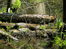 Alabama Black Southern Water Snake - Nerodia Fasciata. This is a Alabama Black Southern Water Snake - Nerodia Fasciata that is living in a swamp in Morgan County stock photography