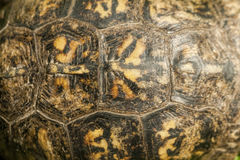 Alabama Box Turtle Shell- Terrapene carolina Stock Photography