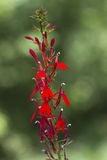 Alabama Cardinal Wildflower Royalty Free Stock Images