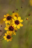 Alabama Coreopsis tinctoria Wildflowers and Buds Royalty Free Stock Image