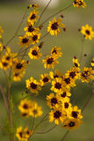 Alabama Coreopsis tinctoria Wildflowers Royalty Free Stock Images