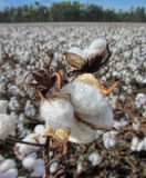 Alabama Cotton Boll Details - Gossypium hirsutum Stock Photos