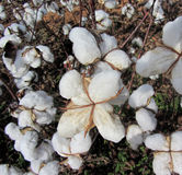 Alabama Cotton Bolls - Gossypium hirsutum Royalty Free Stock Image