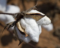 Alabama Cotton Crop Boll - Gossypium. This is a mature cotton boll, gossypium from a cotton crop in Limestone County Alabama USA Royalty Free Stock Photography
