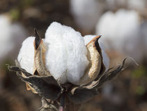 Alabama Cotton Crop Boll Macro - Gossypium. This is a mature cotton boll, gossypium from a cotton crop in Limestone County Alabama USA Stock Photos