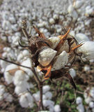 Alabama Cotton Crop - Gossypium hirsutum Royalty Free Stock Photo