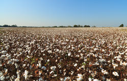 Alabama Cotton Field. Large cotton field landscape with blue sky in Alabama Royalty Free Stock Photography