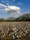 Alabama Cotton Field. Cotton ripens under an Alabama sky Stock Photo