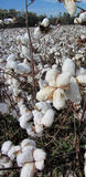 Alabama Cotton Plants - Gossypium hirsutum Stock Photos