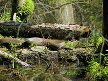 Alabama czerń Southern Water Wi się - Nerodia Fasciata Fotografia Stock