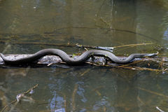 Alabama czerń Southern Water Wi się - Nerodia Fasciata Zdjęcia Stock