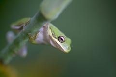 Alabama grön Treegroda - cinerea Hyla Arkivbilder