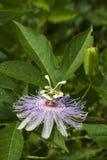 Alabama-Leidenschafts-Blume Wildflower 6 Stockfotos