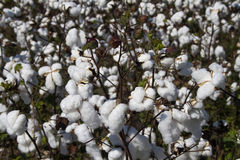 Alabama Limestone County Cotton Crop Royalty Free Stock Photo
