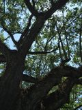 Alabama Live Oak. Live oak tree looking up through branches Royalty Free Stock Photos
