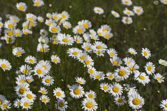 Alabama Oxeye Daisy Wildflower Blooms. This is an Alabama Usa wildflower field, oxeye daisies, Chrysanthemum leucanthemum. They are growing in Limestone County royalty free stock image