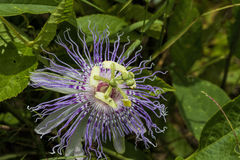 Alabama Passion Flower Wildflower 7 Stock Images