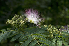 Alabama Silk Mimosa Tree Flowering Stages. This is a beautiful exotic tropical looking tree that grows in Alabama called a mimosa or silk tree, Albizzia royalty free stock image