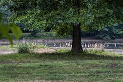 Alabama White Egret on Pond Landscape. These are white egret, Ardea alba modesta, on a pond in Morgan County Alabama USA royalty free stock photography