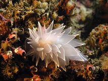 Alabaster Nudibranch Royalty Free Stock Image