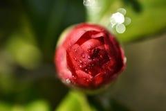 Alabastrum del rojo de la flor de la camelia Imágenes de archivo libres de regalías