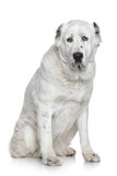 Alabay dog portrait royalty free stock images