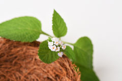 Alacransillo, Eye bright, Indian Heliotrope, Turnsole (Heliotropium. indicum) Royalty Free Stock Photo