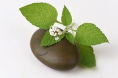 Alacransillo, Eye bright, Indian Heliotrope, Turnsole (Heliotropium. indicum) Royalty Free Stock Photography