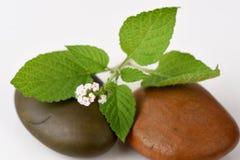 Alacransillo, Eye bright, Indian Heliotrope, Turnsole (Heliotropium. indicum) Stock Image