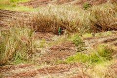 Alagoas, Βραζιλία, στις 7 Νοεμβρίου 2018: Τέμνον ζαχαροκάλαμο αγροτών που στέλνεται στις τοπικές εγκαταστάσεις καθαρισμού για την στοκ εικόνες