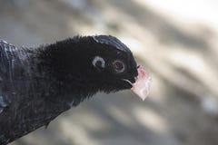 Alagoas Curassow. Big black bird in the nature habitat in Brazil, South America Stock Photo