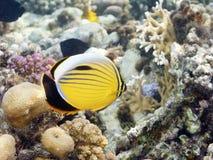 alam butterflyfish κόκκινο marsa πτερυγίων Στοκ Φωτογραφία