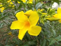 Alamanda blomma på trädet Royaltyfria Bilder