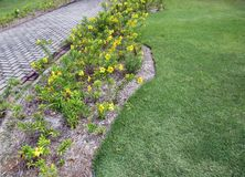 Alamanda or Gold Cup climbing plant with yellow flowers stock photo