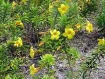 Alamanda lub Złocista filiżanki pięcia roślina z żółtymi kwiatami zdjęcie royalty free