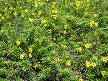 Alamanda lub Złocista filiżanki pięcia roślina z żółtymi kwiatami obraz royalty free