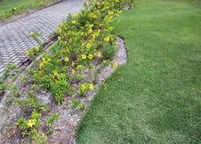 Alamanda lub Złocista filiżanki pięcia roślina z żółtymi kwiatami zdjęcie stock