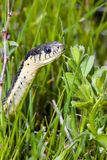 Alameda Whipsnake portrait Royalty Free Stock Images