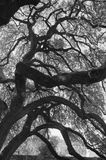 alamo live oak Arkivfoton