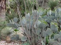 Alamoen arbeta i trädgården kaktuns Royaltyfri Foto