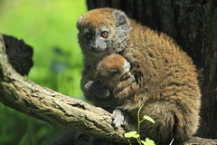 Alaotran bamboo lemur. The alaotran bamboo on the branch Stock Photography