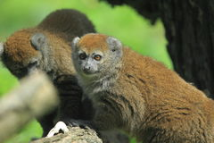 Alaotran gentle lemur. The couple of alaotran gentle lemurs Stock Images