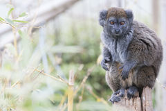 Alaotran gentle lemur. Perching and curious Royalty Free Stock Image