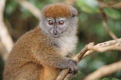 Alaotrensis delicato di Hapalemur delle lemure di Alaotran Fotografia Stock Libera da Diritti