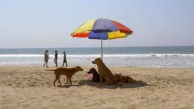 Alappuzha beach, south india, dogs under a sun parasol stock footage