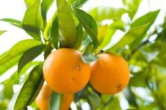 Alaranjado-árvore com laranjas frescas Foto de Stock Royalty Free